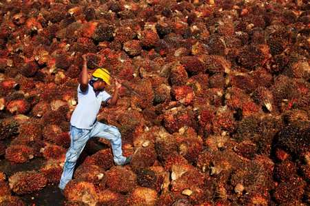 A worker collects palm oil fruit inside a palm oil factory in Sepang, outside Kuala Lumpur February 18, 2014. REUTERS