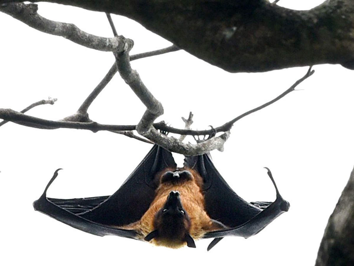'How the deadly Nipah virus jumps from bats to humans found'