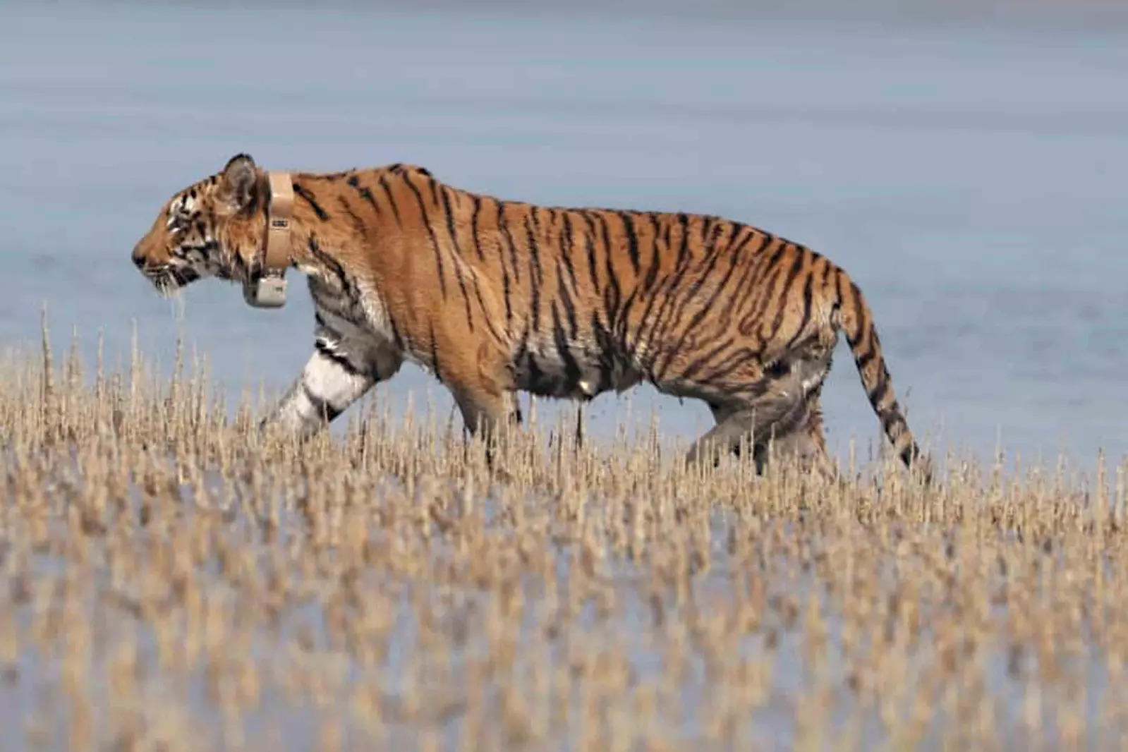 Tiger reserves can be opened for tourism – ET TravelWorld